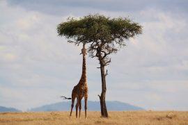 Africa Giraffe Tree