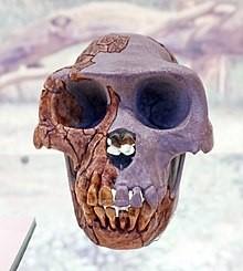 Ardipithecus spp. Source Spanish Museum of Natural Sciences