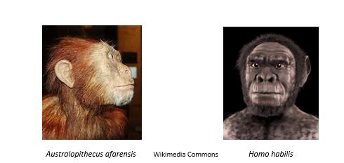 Australopithecus afarensis Homo Habilis