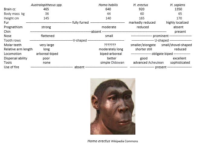 Homo Erectus And Chart